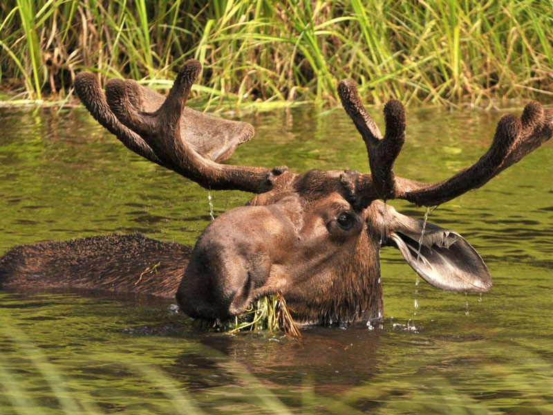 Alaska Denali Train Tour | Moose in Denali National Park