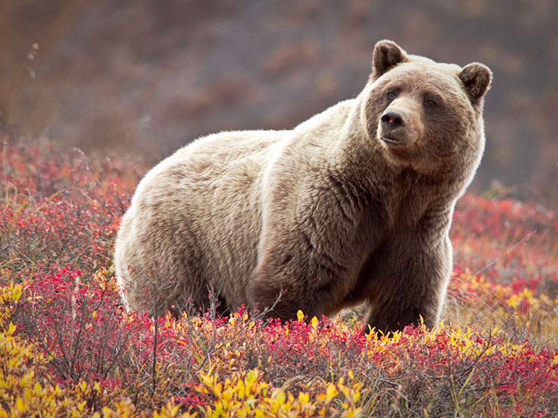 Best of Alaska by Train & Glaciers | Grizzly Bear in Denali National Park